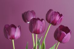 Purple tulips on purple 1. Group of purple tulips against a purple background, for a tone on tone effect Stock Photos