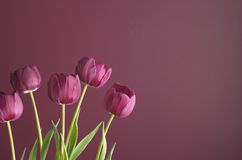 Purple tulips on purple 4. Group of purple tulips against a purple background, for a tone on tone effect Stock Image