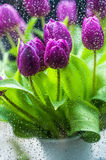 Purple tulips in rain Stock Images