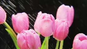 Purple Tulips Rotating in Heavy Rain stock video