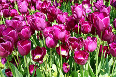 Purple Tulips Season in Istanbul. Spring Time Royalty Free Stock Photography