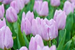 Purple tulips Stock Image
