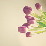 Purple tulips on soft beige backdrop Royalty Free Stock Images