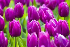 Purple tulips in the spring. Stock Photos