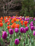 Purple Tulips in the Spring Stock Image