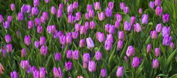 Purple tulips. Spring landscape. field of tulips. tulips flowers.  Royalty Free Stock Image