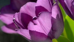 Purple tulips in the sunlight