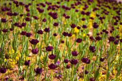 Purple Tulips at sunset. Purple tulips in hungary, shallow dof Royalty Free Stock Photography
