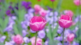 Purple tulips swaying in the wind. stock video footage