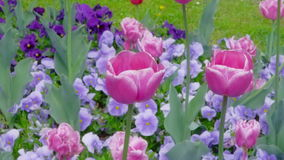 Purple tulips swaying in the wind stock footage