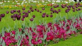 Purple tulips swaying in the wind. Dark purple tulips swaying in the wind on the green lawn stock footage