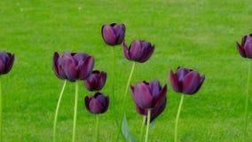 Purple tulips swaying in the wind. Dark purple tulips swaying in the wind on the green lawn stock video footage