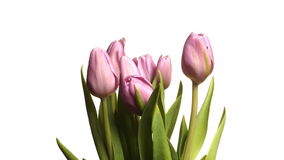 Purple Tulips Time-lapse. Time-lapse of purple tulips(Tulipa sp.) blooming. Studio shot over white stock video