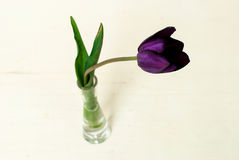 Purple tulips in a vase. Single purple tulip in a small vase on a white background Royalty Free Stock Image