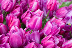 Purple tulips with water drops Stock Image