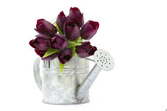 Purple tulips in watering-can Royalty Free Stock Images