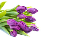 Purple tulips on white background Stock Photography