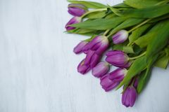 Purple tulips on the white background stock images