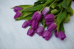 Purple tulips on the white background stock photography
