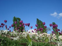 Purple tulips and white common daisies in flowerbed in park Stock Photography