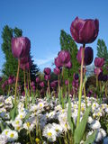 Purple tulips and white common daisies in flowerbed in park Stock Photo