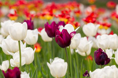 Purple tulips. Purple, Whte and red tulips Royalty Free Stock Images