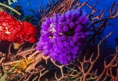 Purple tunicates. Off the coast of Roatan Royalty Free Stock Image
