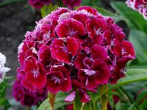 Purple Turkish carnation with white border of petals. stock images