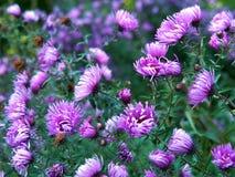 Natural Purple Aster Closeup stock images