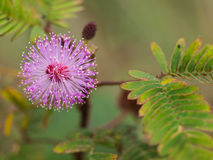 Purple Unwanted Flora Flower. Pollen Around Royalty Free Stock Image