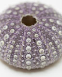 Purple urchin. A closeup of a purple sea urchin test Royalty Free Stock Photo