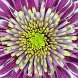 Purple van de Bloem van de chrysant met het Centrum van de Kalk Stock Foto