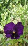 Purple van de viooltjebloem - Eutopia-Tuinenrozentuin Stock Foto's