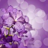 Purple vanda close up Stock Image