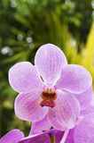 Purple vanda orchid. Picture of purple vanda orchid Stock Images