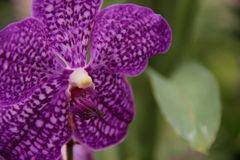 Purple Vanda Orchid Royalty Free Stock Photos