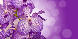 Purple Vanda orchid flower Royalty Free Stock Photography