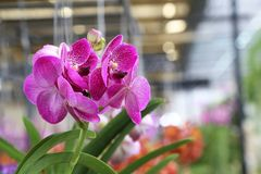Purple vanda orchid flowers blooming. Royalty Free Stock Image