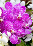 Purple Vanda Orchid. Royalty Free Stock Photo