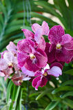 Purple Vanda orchid Royalty Free Stock Photography