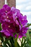 Purple Vanda orchid Royalty Free Stock Photo