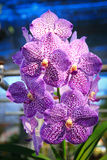 Purple Vanda Orchid. Vanda is a genus in the orchid family (Orchidaceae) which, although not large (about fifty species), is one of the most important florally Stock Images