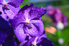 Purple Vanda Orchid. Vanda is a genus in the orchid family (Orchidaceae) which, although not large (about fifty species), is one of the most important florally Royalty Free Stock Image