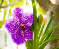 Purple vanda orchid Royalty Free Stock Image