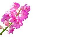 Purple vanda orchid Stock Photography