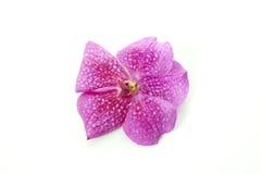 Purple vanda orchid Stock Photo
