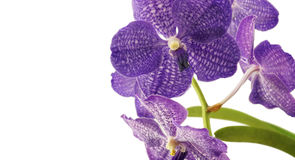 Purple vanda orchid Stock Photography