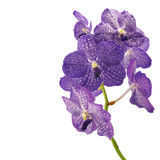 Purple vanda orchid Royalty Free Stock Image
