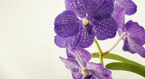 Purple vanda orchid Stock Image