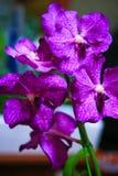 Purple Vanda Orchid Stock Images